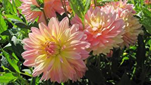 Bilder Dahlien Großansicht Rosa Farbe Blüte