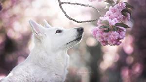 Bilder Hunde Shepherd Weiß Ast Japanische Kirschblüte Berger Blanc Suisse Tiere