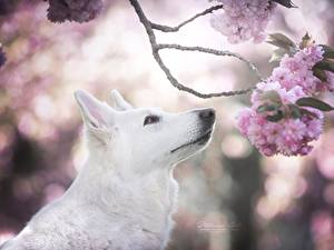 Bilder Hunde Shepherd Weiß Ast Japanische Kirschblüte Berger Blanc Suisse