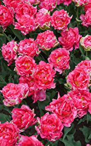 Hintergrundbilder Tulpen Hautnah Rosa Farbe Blumen