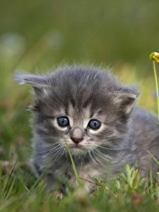Bilder Katzen Gras Bokeh Starren Kätzchen ein Tier