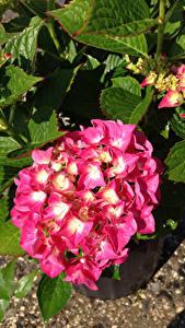 Hintergrundbilder Hortensien Nahaufnahme Rosa Farbe Blumen