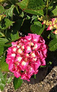 Hintergrundbilder Hortensien Großansicht Rosa Farbe Blumen