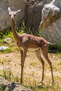 Images Antelope Gerenuk Animals