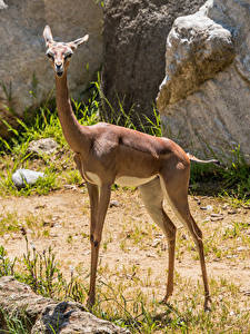 Images Antelope Gerenuk Animals