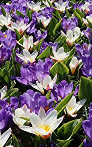 Hintergrundbilder Krokusse Großansicht Viel Blumen