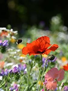 Fotos Mohn Hummeln Rot Unscharfer Hintergrund Blumen