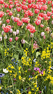 Picture Tulips Narcissus Hyacinths Many Flowers