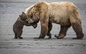 Hintergrundbilder Bären Braunbär Jungtiere Umarmung Süß Tiere