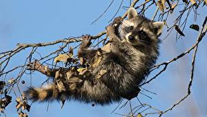 Wallpaper Raccoons Branches animal