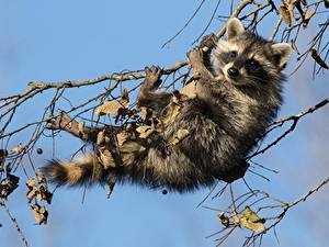 Wallpaper Raccoons Branches Animals
