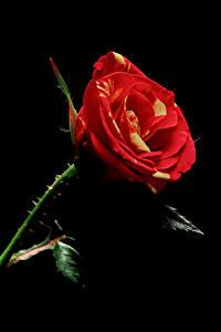Hintergrundbilder Rosen Nahaufnahme Schwarzer Hintergrund Blüte