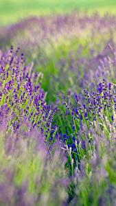 Hintergrundbilder Lavendel Acker Hautnah Blumen