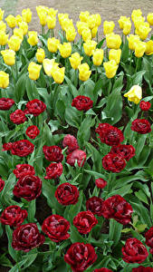 Fotos Niederlande Park Tulpen Viel Keukenhof Blumen