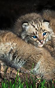 Bilder Große Katze Luchse Jungtiere Zwei