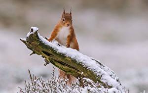 Bilder Hörnchen Schnee Ast Tiere