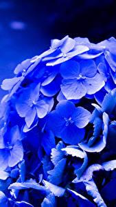Hintergrundbilder Hortensie Großansicht Makro Blau Blumen
