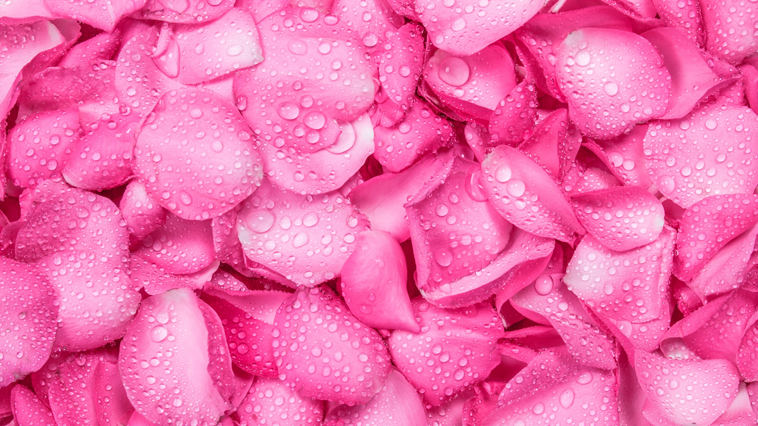 Desktop Wallpapers Rose Pink Color Drops Flower 2560x1440