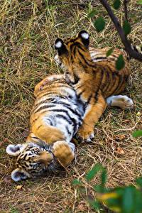 Bilder Große Katze Tiger Jungtiere Zwei