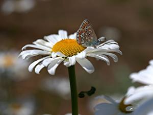 Images Closeup Butterflies Camomiles Petals Flowers