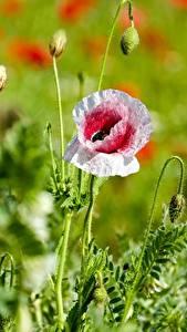 Bakgrundsbilder på skrivbordet Vallmosläktet Närbild Bokeh Blomma knopp blomma