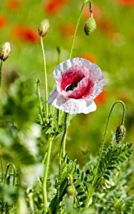 Photo Papaver Closeup Bokeh Flower-bud flower