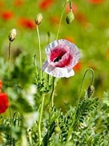 Fotos Mohnblumen Hautnah Bokeh Knospe Blüte