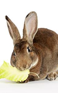 Hintergrundbilder Kaninchen Großansicht Weißer hintergrund Tiere