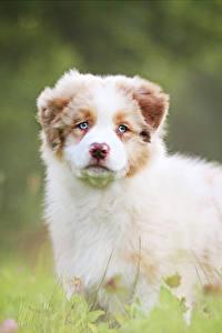 Bilder Hunde Welpe Shepherd Niedlich Australian