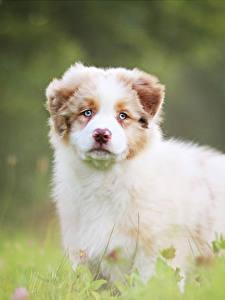 Bilder Hunde Welpen Shepherd Niedlich Australian