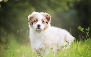 Bilder Hunde Welpe Shepherd Niedlich Australian Tiere