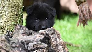 Images Dogs Puppies Black Snout Staring Belgian Shepherd Animals
