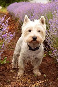 Hintergrundbilder Lavendel Hunde West Highland White Terrier ein Tier