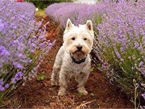 Hintergrundbilder Lavendel Hunde West Highland White Terrier ein Tier