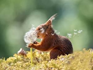 Fotos Hörnchen Taraxacum Unscharfer Hintergrund Windig Lustiger ein Tier