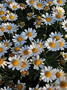 Hintergrundbilder Kamillen Viel Blumen