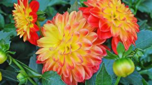 Hintergrundbilder Georginen Großansicht Knospe Blüte