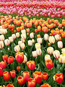 Bilder Niederlande Park Tulpen Viel Keukenhof Blumen