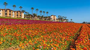 Bilder Vereinigte Staaten Felder Hahnenfuß Viel Kalifornien Blumen