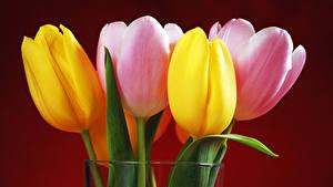 Bilder Tulpen Nahaufnahme Farbigen hintergrund Blüte
