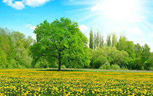 Fotos Sommer Felder Taraxacum Himmel Bäume Sonne Lichtstrahl