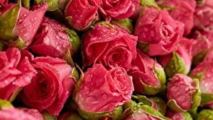 Tapety na pulpit Róże Z bliska Kropla Różowy kolor Kwiaty