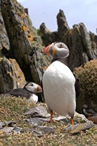 Fotos Papageientaucher Vögel Bokeh