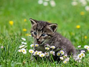 Hintergrundbilder Hauskatze Katzenjunges Gras Nett