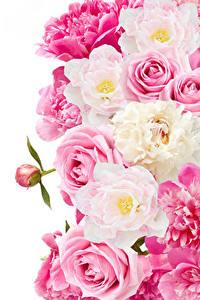 Bilder Rosen Pfingstrosen Nahaufnahme Weißer hintergrund Blüte