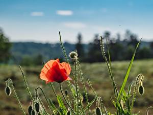 Wallpapers Poppies Red Flower-bud Flowers