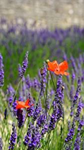 Desktop hintergrundbilder Lavendel Mohnblumen Unscharfer Hintergrund Blüte