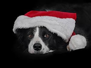 Fotos Neujahr Hunde Schwarzer Hintergrund Schnauze Mütze Border Collie Tiere