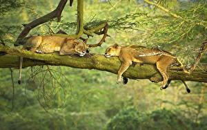 Bilder Löwen Löwin Schläft 2 Liegen Ast ein Tier
