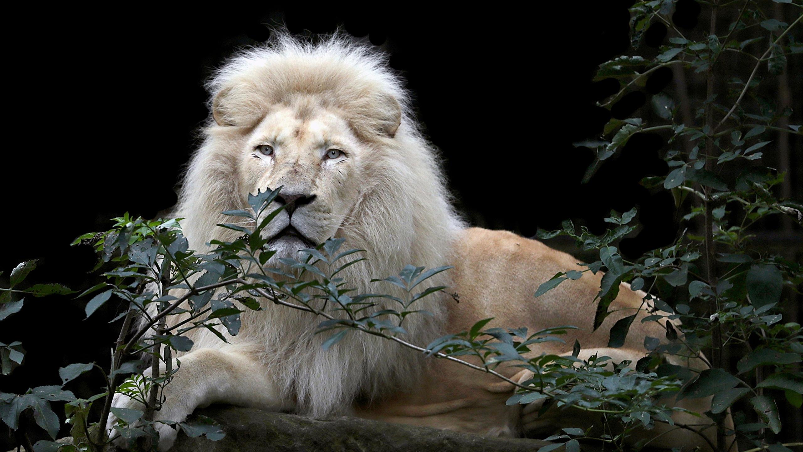 Fonds Decran 2560x1440 Fauve Lions Fond Noir Voir Branche